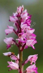 Sortie nature Découverte des pelouses sèches calcaires et des orchidées de la Butte de la Lot
