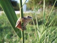 Inventaire participatif d'amphibiens